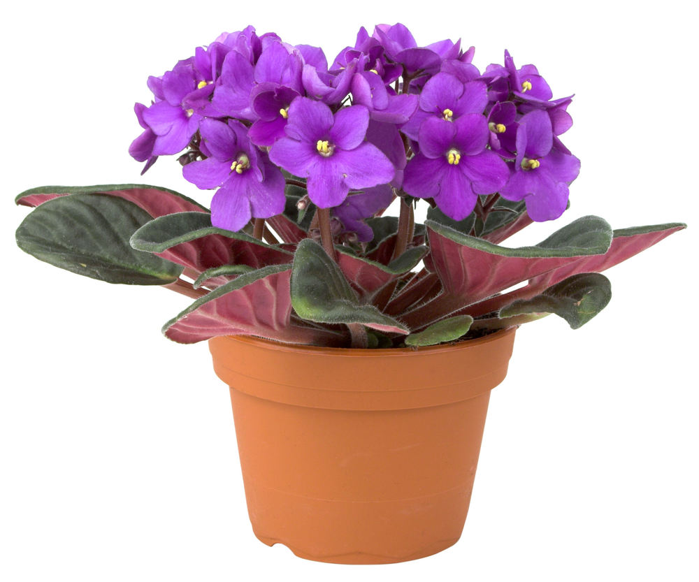 African violet care bob 39 s market and greenhouses for Indoor gardening market size