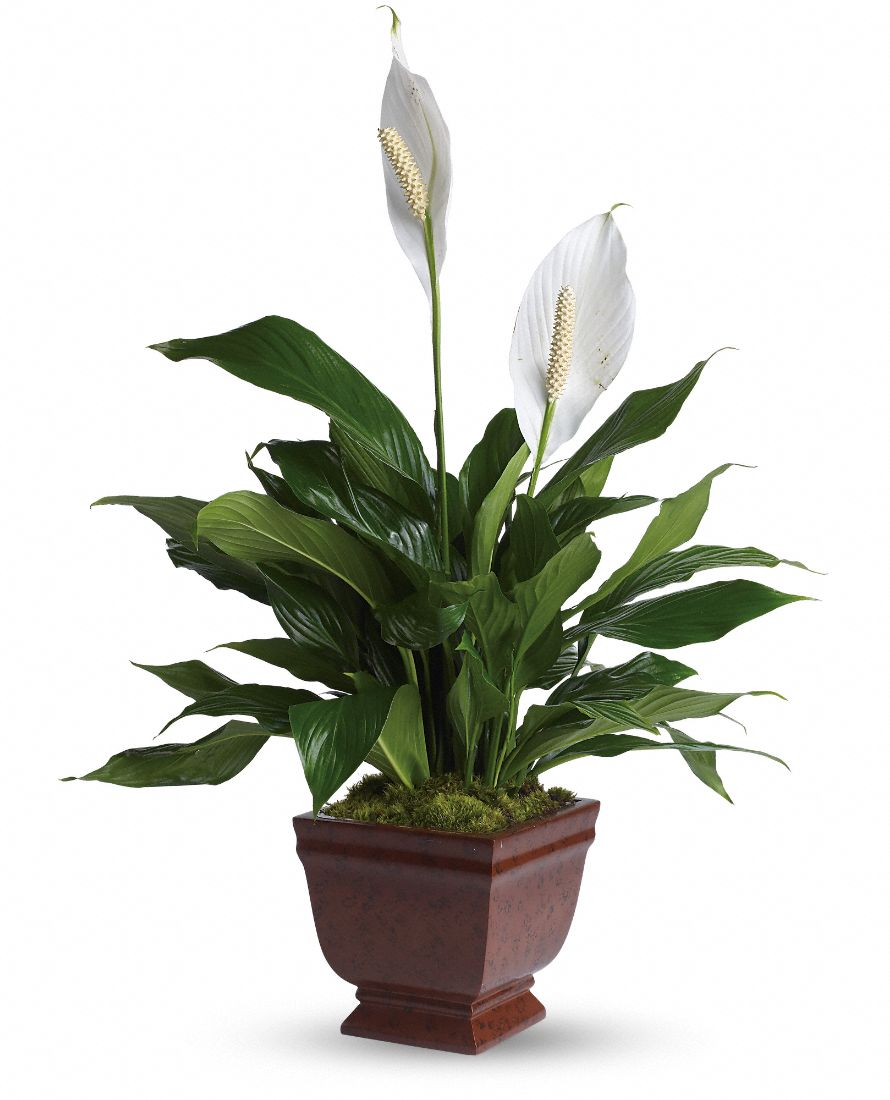 Peace Lily Care Bobs Market And Greenhouses