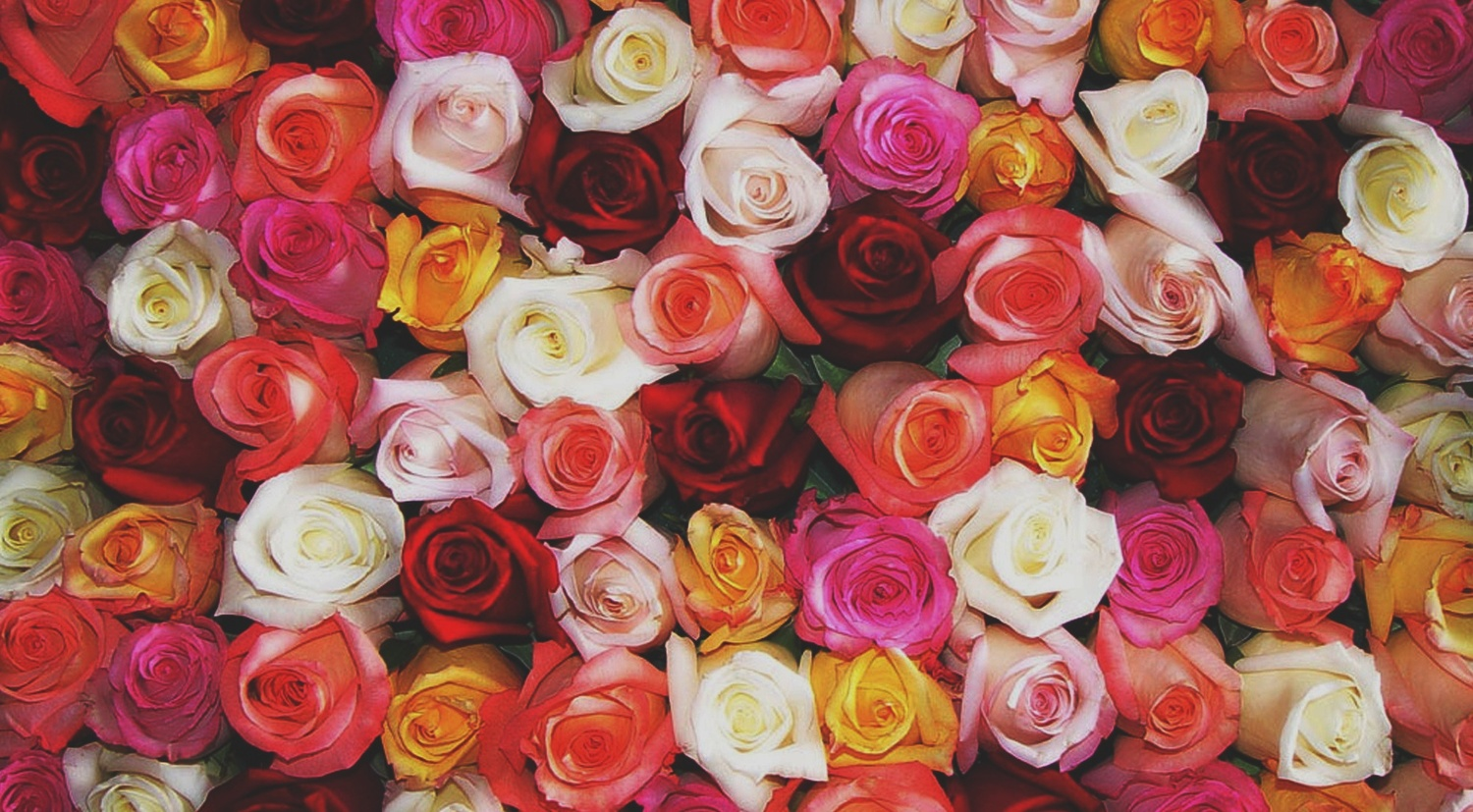 The Meaning Of Rose Colors Bobs Market And Greenhouses