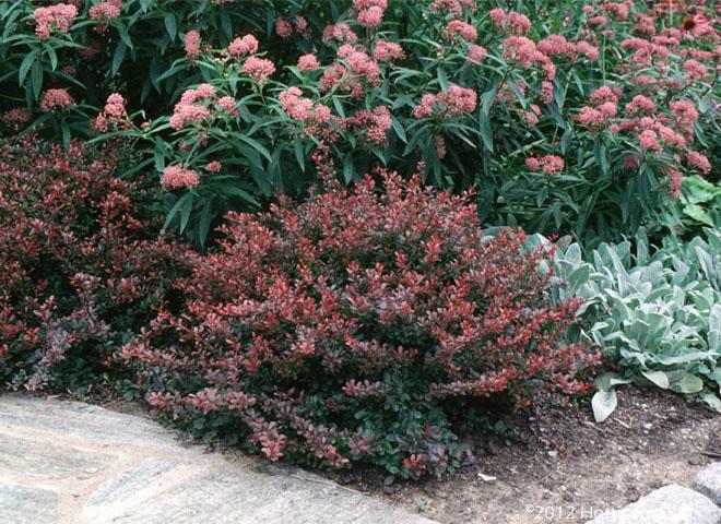 Crimson Pygmy Berberis