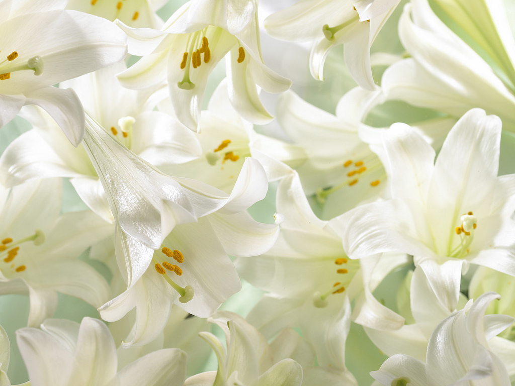The amazing journey of your easter lily bobs market and greenhouses the amazing journey of your easter lily izmirmasajfo