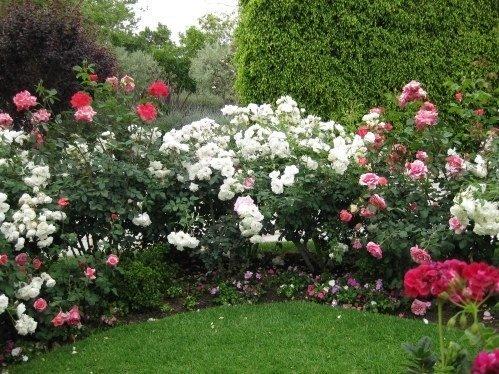 xiceberg-roses.jpg.pagespeed.ic.cTrpVj7dUb.jpg
