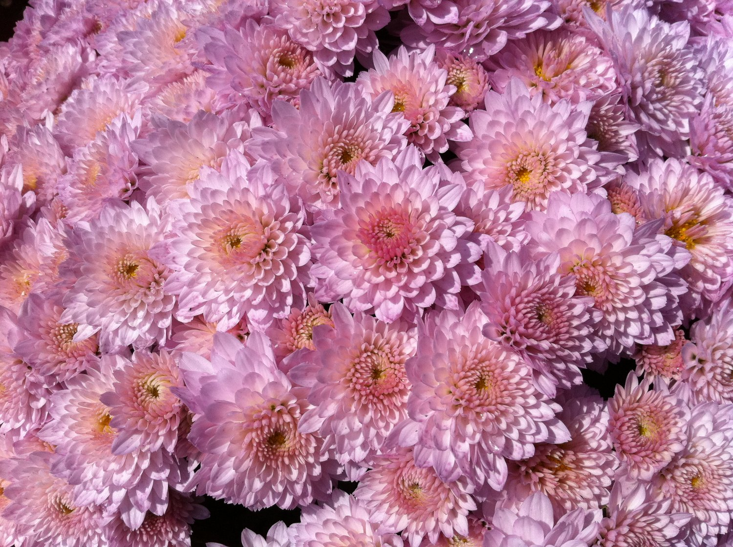 Caring For Mums Indoors Bobs Market And Greenhouses