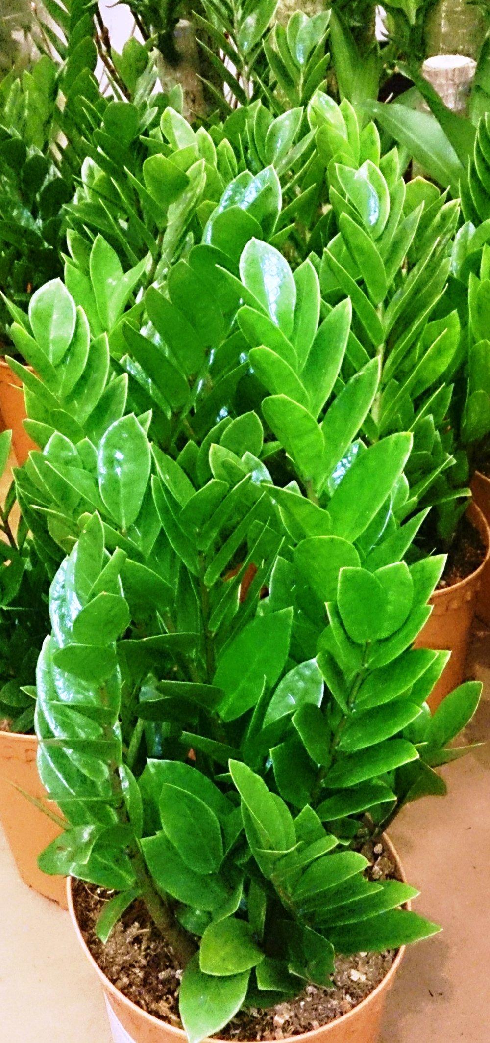 ZZ_Plant_(Zamioculcas_zamiifolia).jpg
