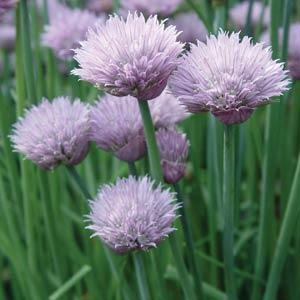 Chives Onion