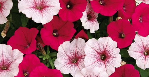 Confetti Garden Peppermint