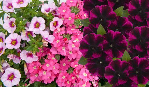 Confetti Garden Pirate's Beauty