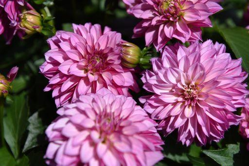 Hypnotica Purple Bicolor