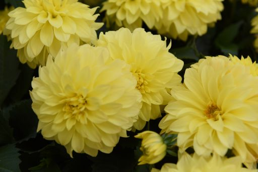 Hypnotica Yellow
