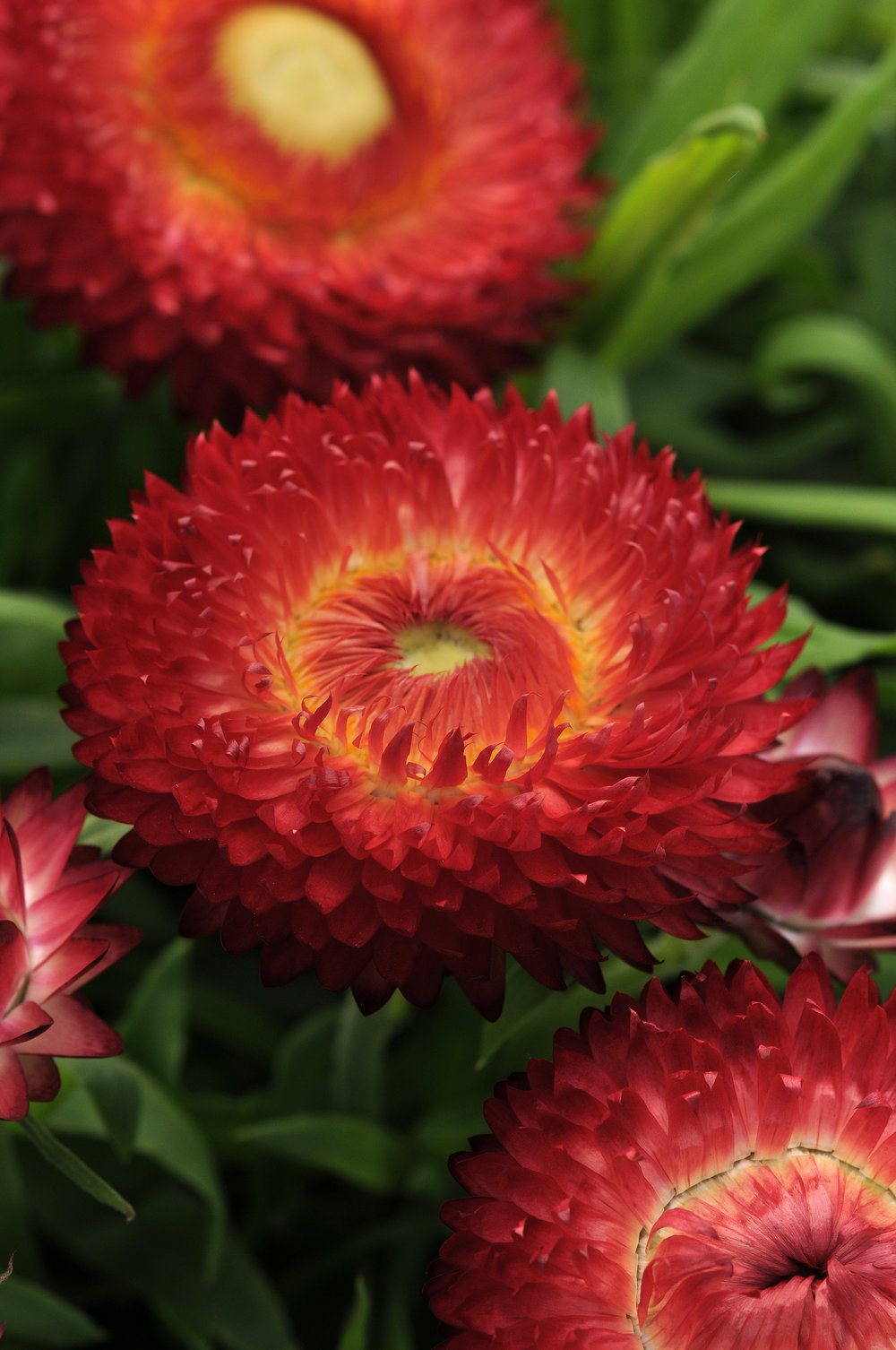 Breacteantha Dreamtime Jumbo Red