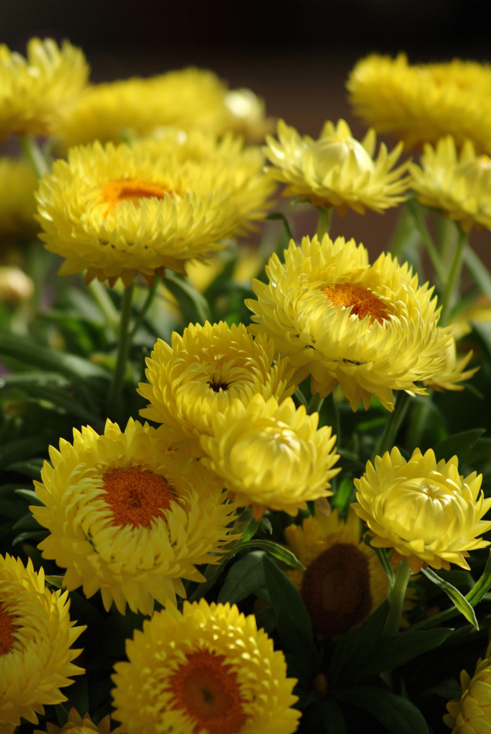 Bracteantha Dreamtime Jumbo Yellow