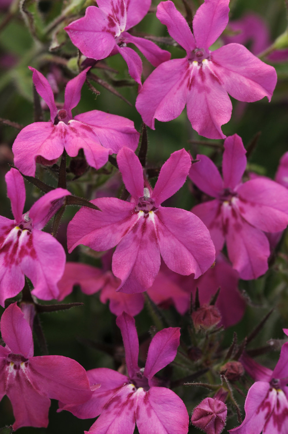 Lobelia Early Springs Magenta