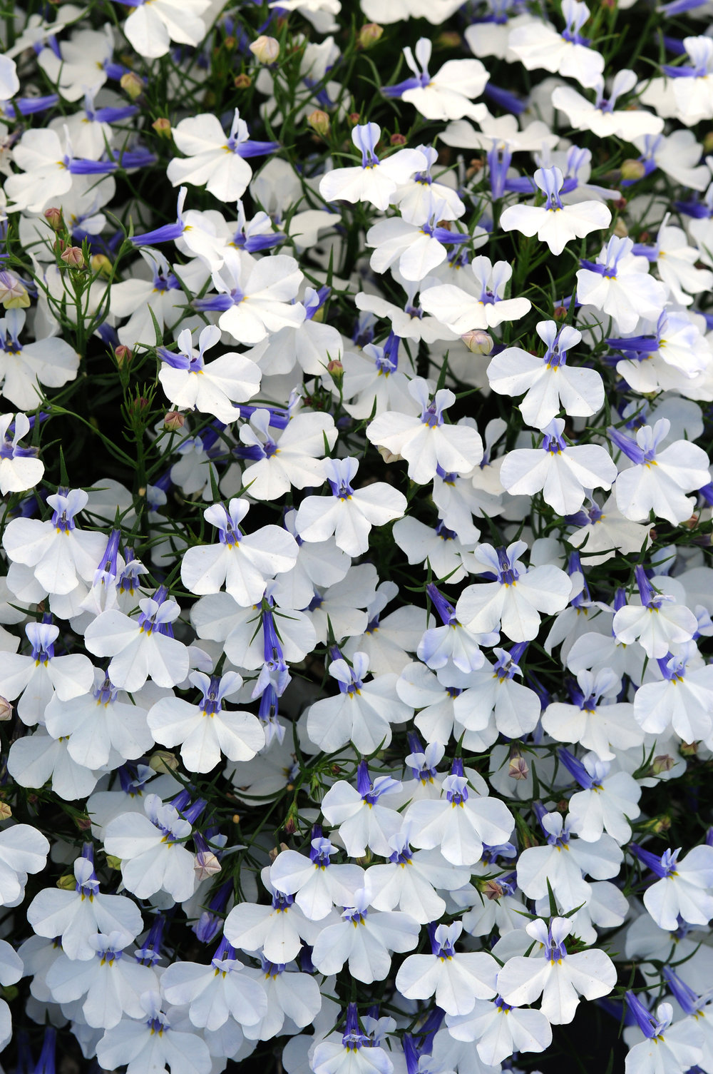 Lobelia Early Springs White