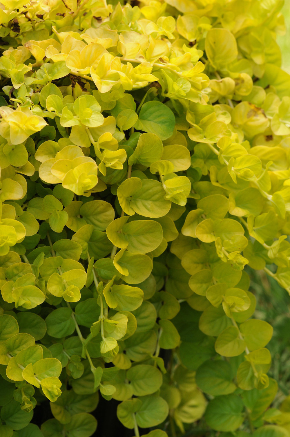 Lysimachia Goldilocks