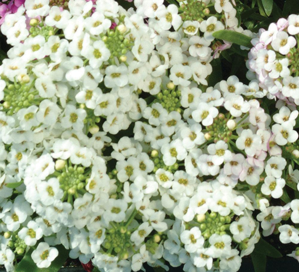 Alyssum Easter Bonnet White