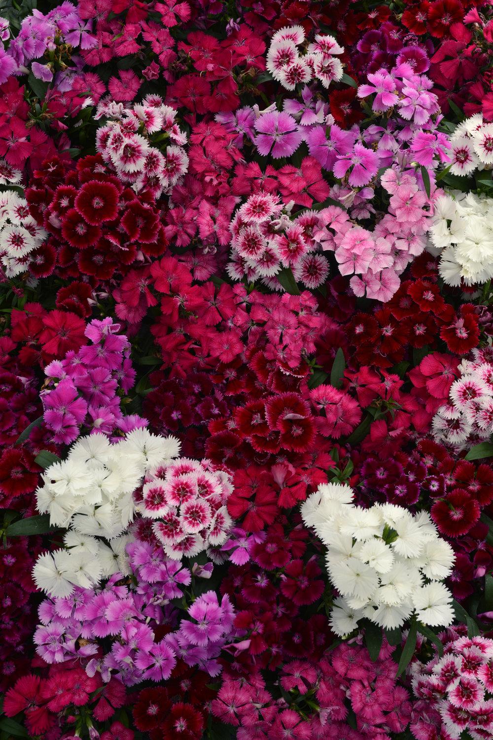 Dianthus Floral Lace Series
