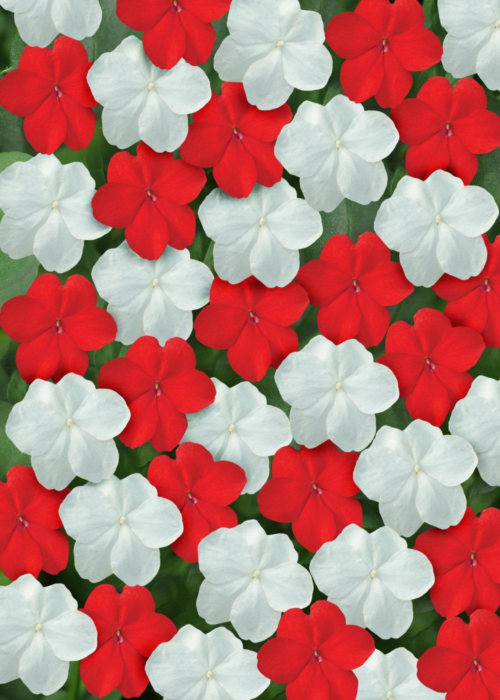 Impatiens Super Elfin Red White Mix