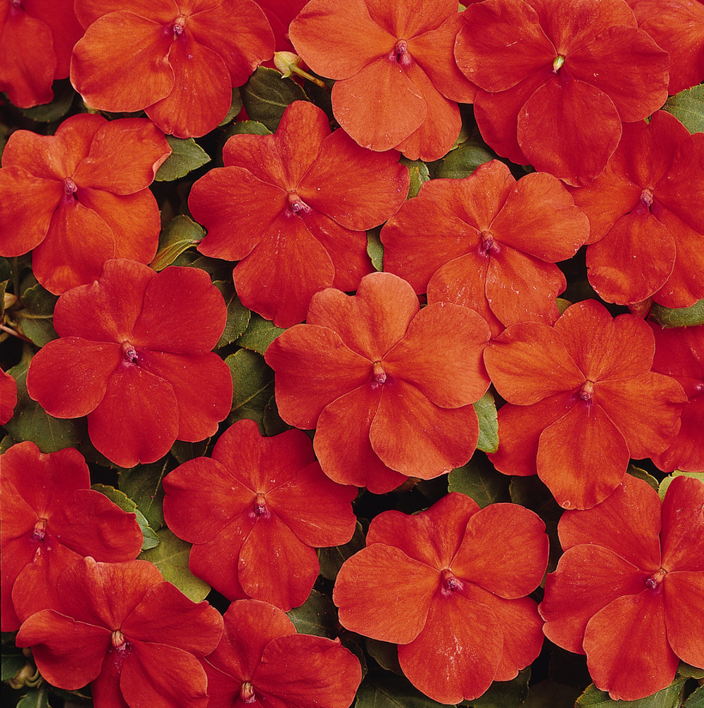 Impatiens Dazzler Orange