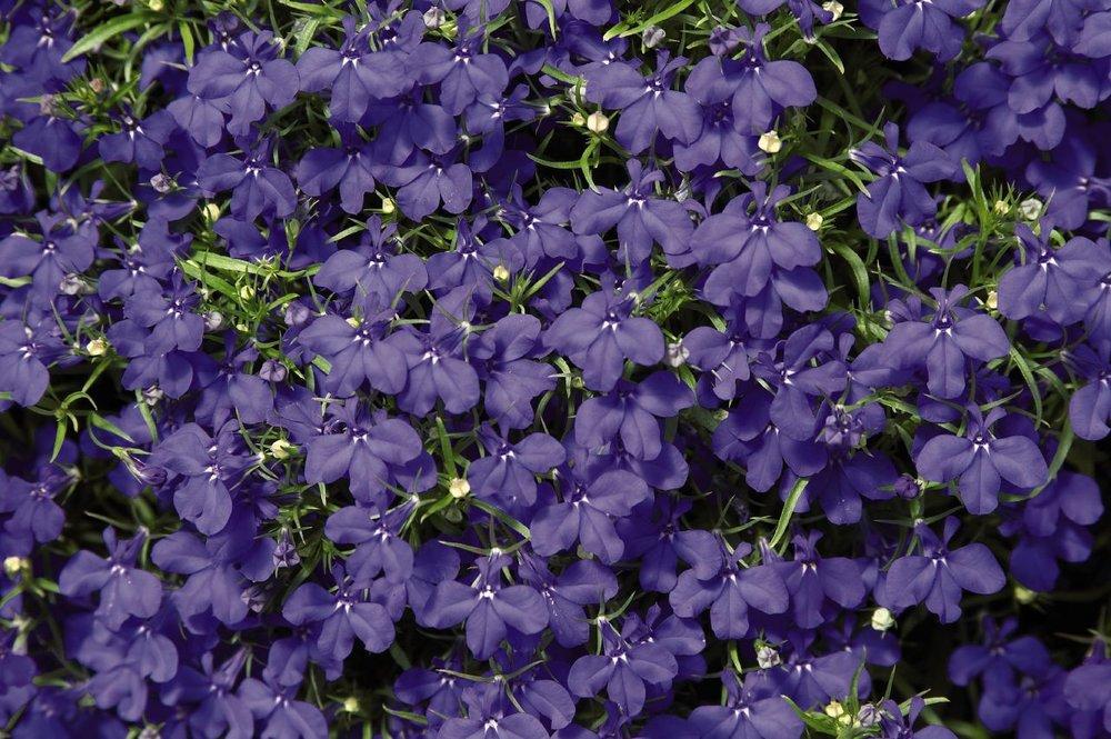 Lobelia Palace Blue