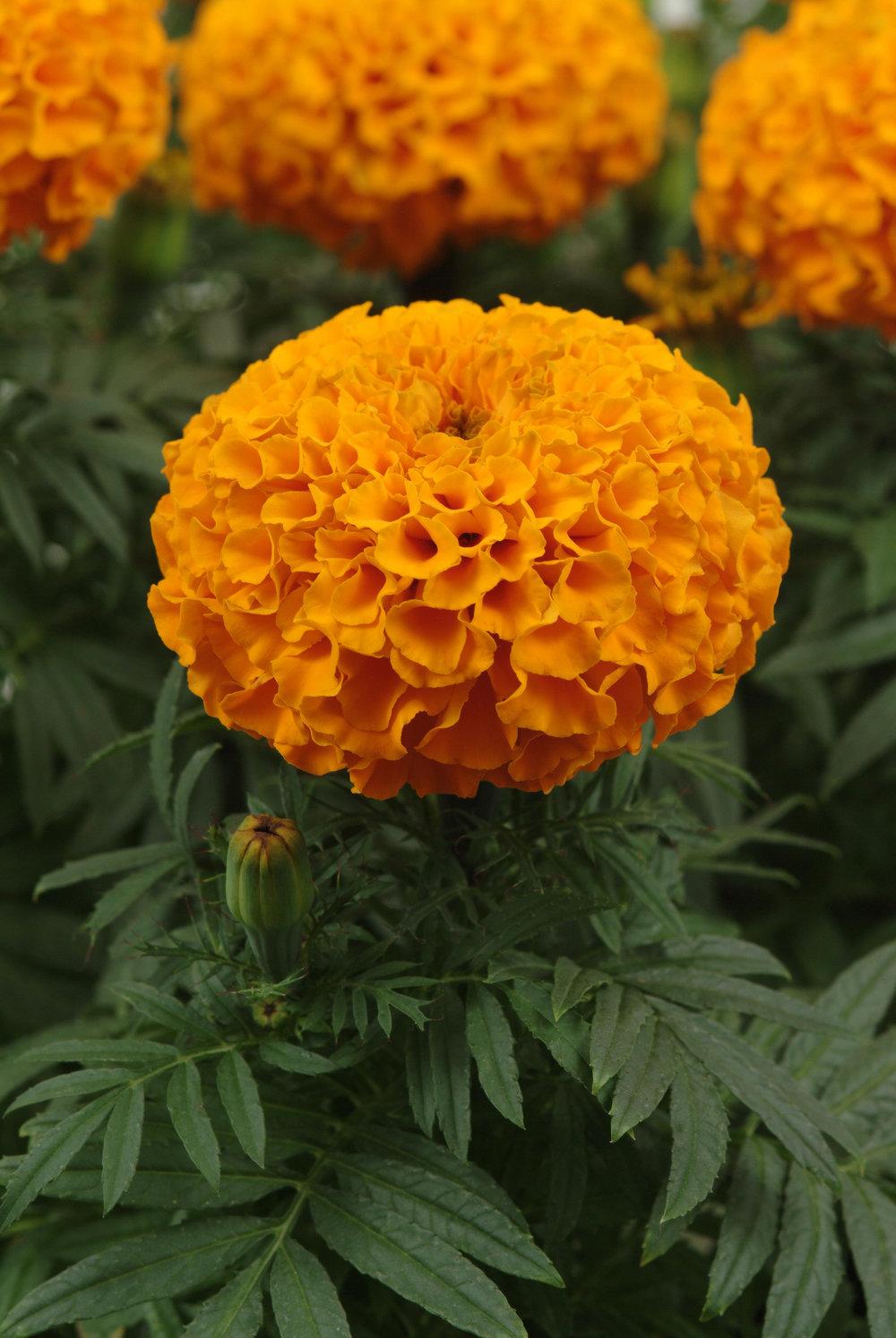 Marigold Taishan Orange (AF)