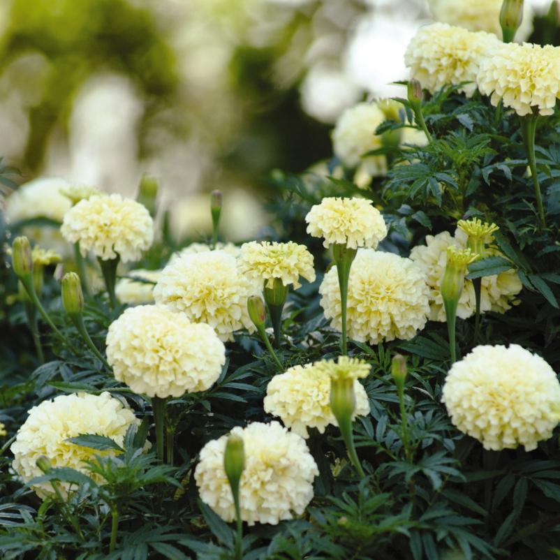 Marigold Vanilla (AF)