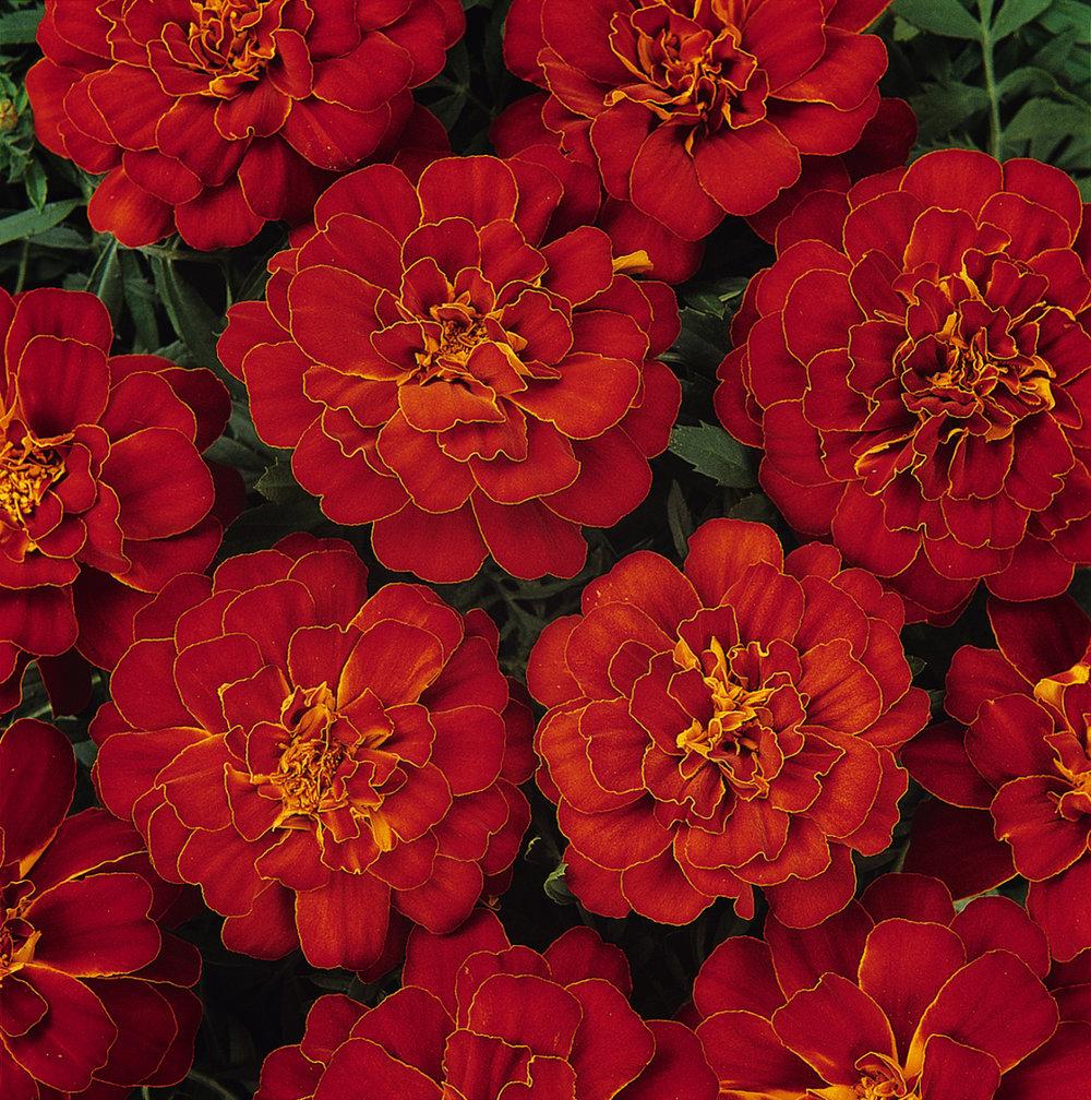 Marigold Durango Red (FR)