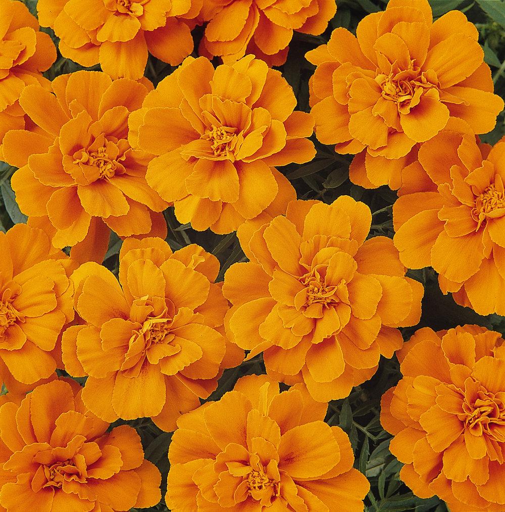 Marigold Durango Tangerine (FR)