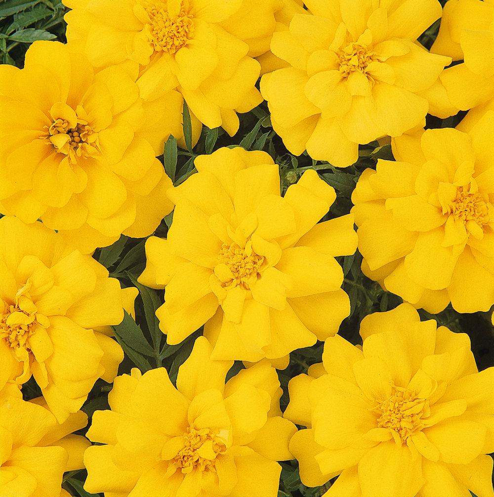 Marigold Durango Yellow (FR)