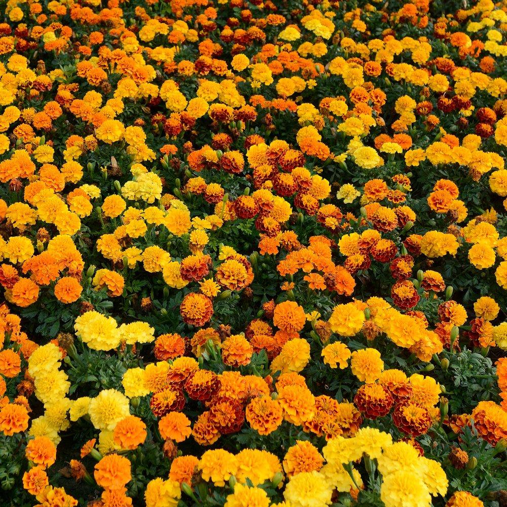 Marigold Hot Pak Series