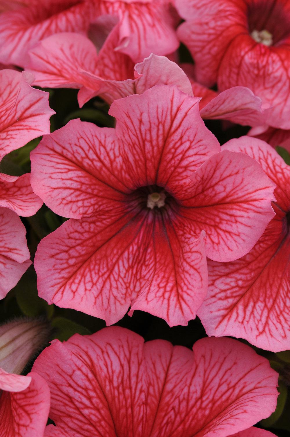 Petunia Pretty Grand Summer