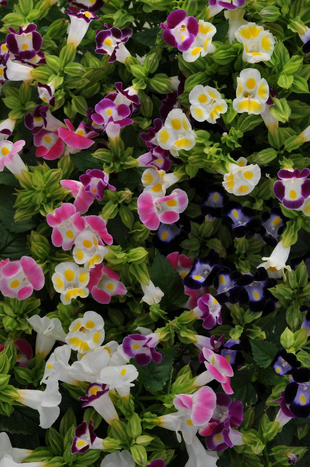 Torenia Kauai Mix