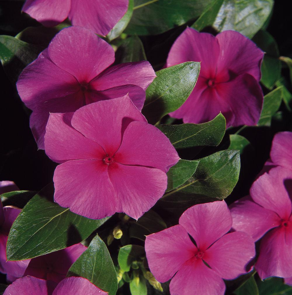 Vinca Mediterranean Lilac