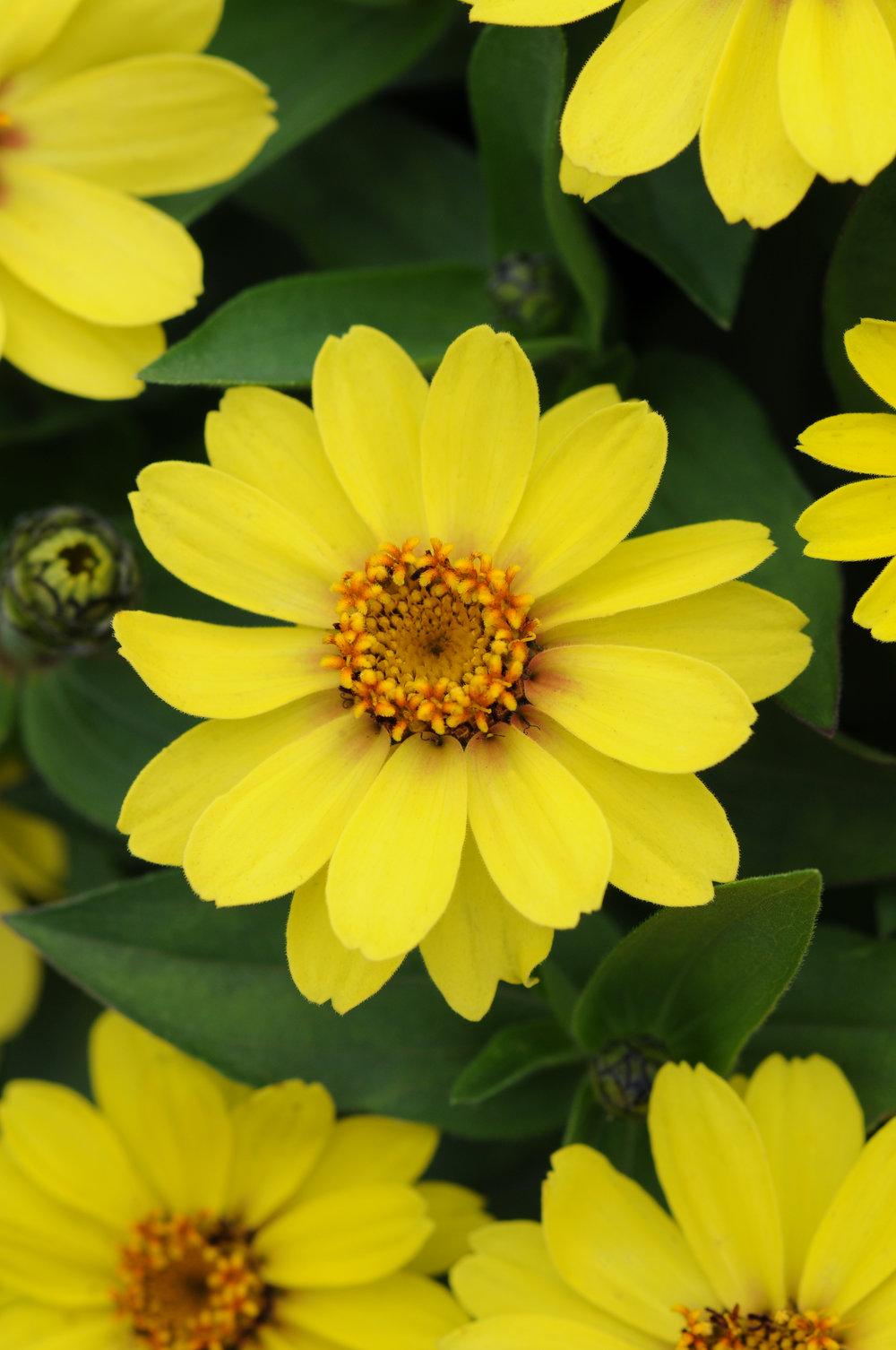 Zinnia Zahara Yellow