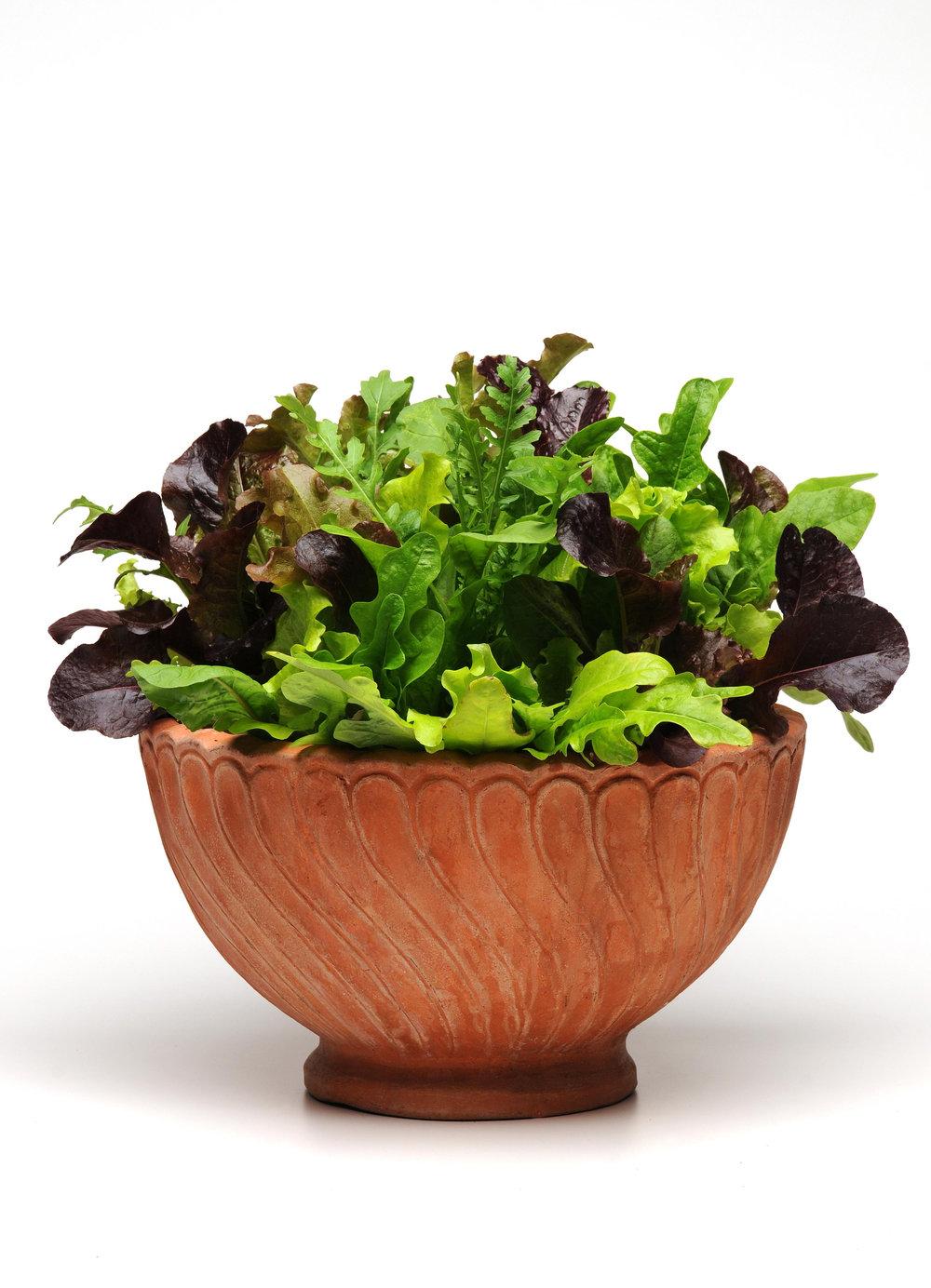 Lettuce (Alfresco Mix Pictured)