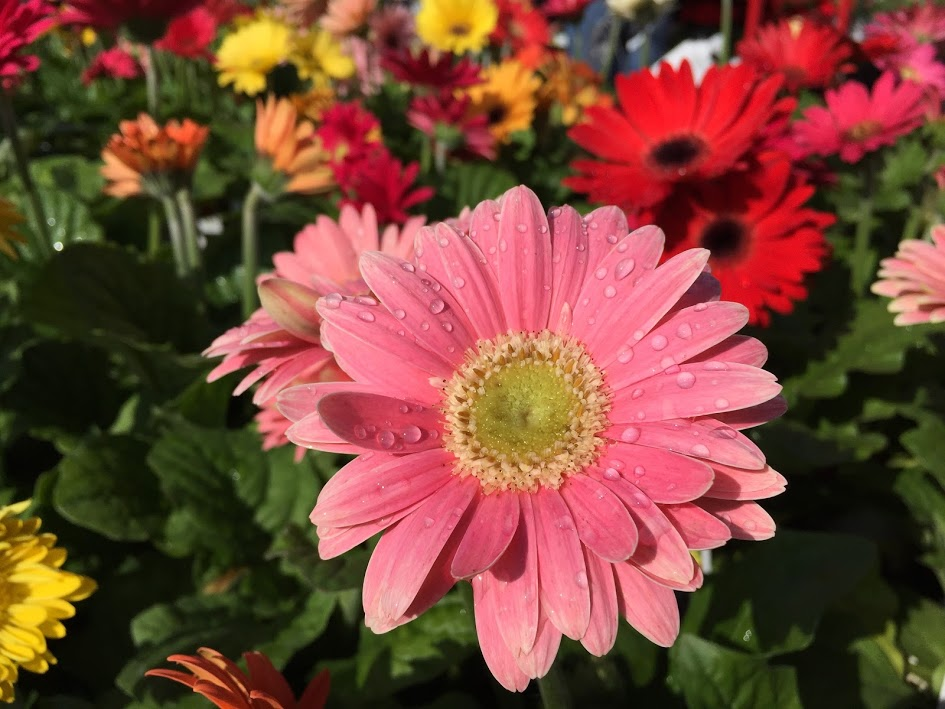 Gerberas (Assorted)