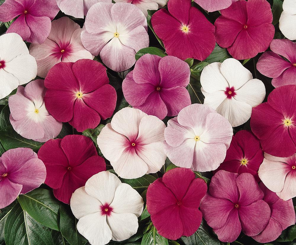 Vinca_Titan_Mix_Bloom_6098.jpg