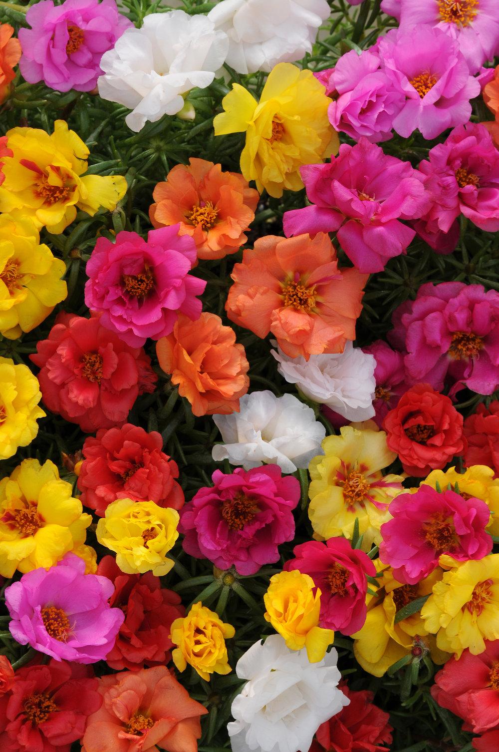 Portulaca_Happy_Hour_Mix_Bloom_7846.jpg