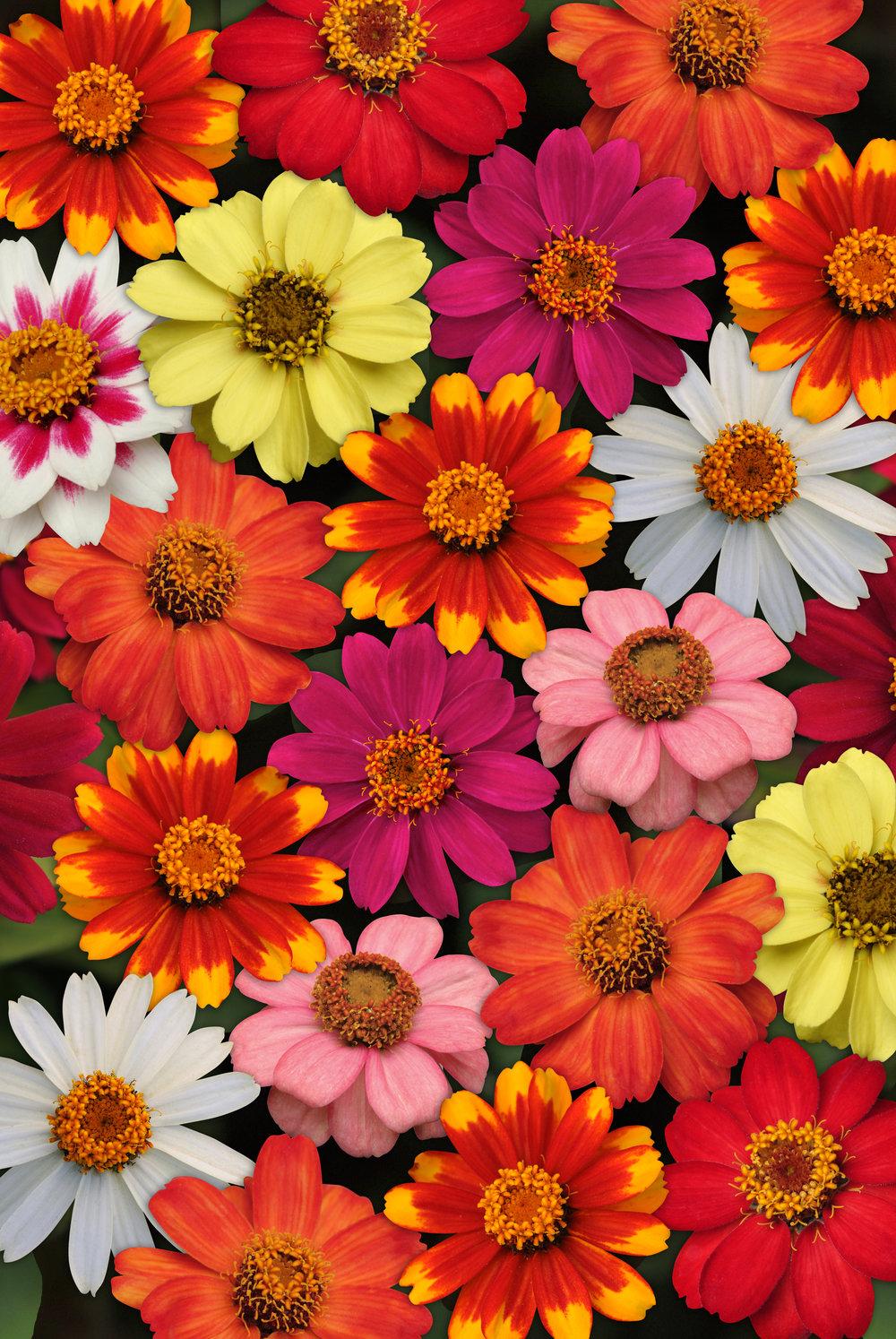 Zinnia_Zahara_Mix_Bloom_9305.jpg