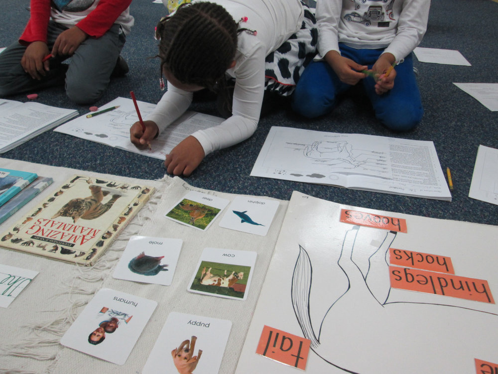 As part of their Zoology studies, the first grade Lower Elementary East students recently began a study of mammals.  During this lesson, they learned how to identify the various external parts of a horse and their functions.
