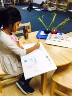 As part of their Botany lesson, the first grade Lower Elementary West students conducted an experiment about stems.  They observed the colored water and celery recorded their observations of the experiment.