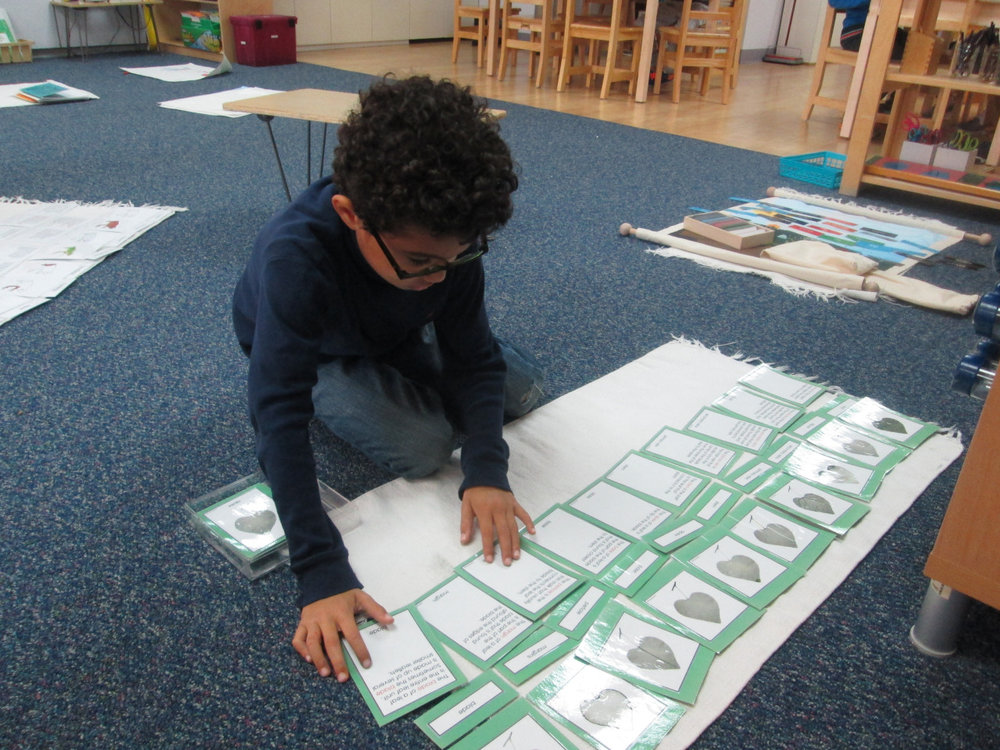 The first grade Lower Elementary East students continued their study of Botany.  A student read and matched the cards, then he completed his  Parts of the Leaf  booklet.