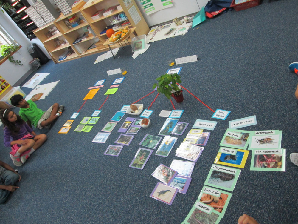 Lower Elementary East students continued their studies in Botany and Zoology with a lesson about Kingdoms and Domains.  This lesson is an extension of the Classification of Living Things and helps the students to understand how different forms of life are categorized.