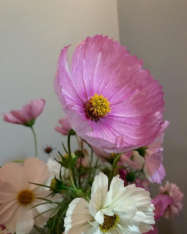 Local cosmos grown by @caitlinmarie444 . . . . - #21flowers #cosmos #pinkflowers #albuquerque #newmexico #florist #weddingflowers #newmexicotrue #abq #burque #wildflower