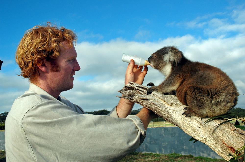 Koala in Pflege