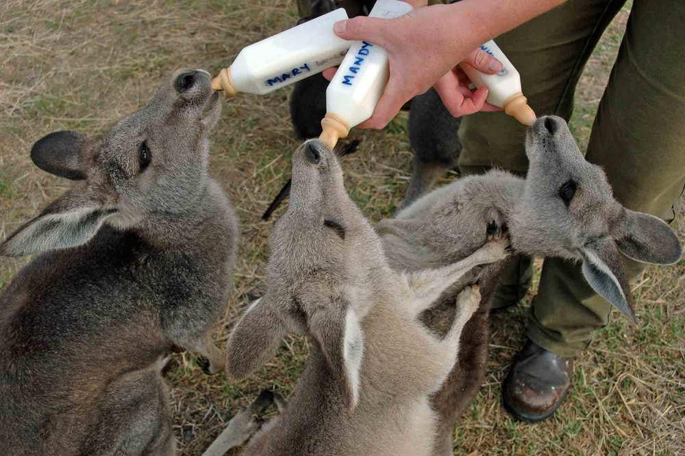 Frühstück für Känguru-Babys