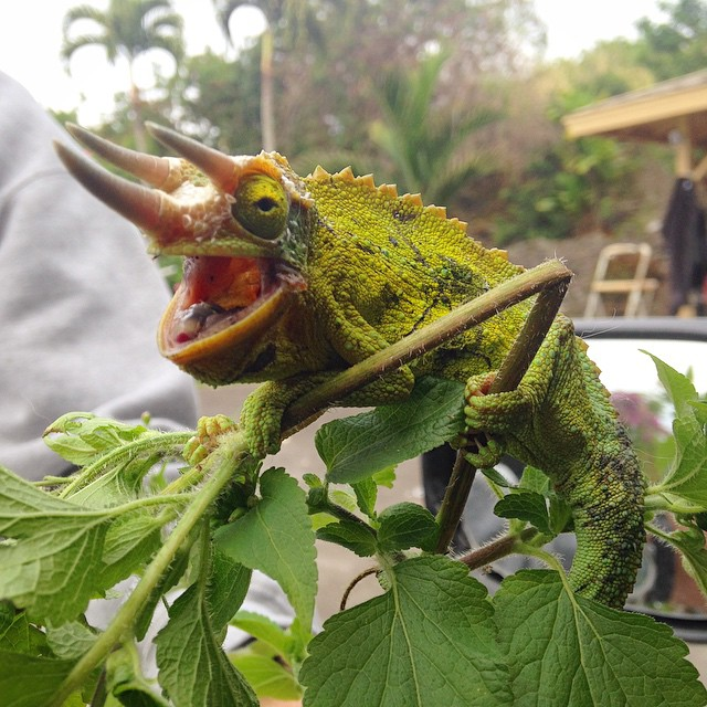 Best caption for this Jackson's Chameleon wins a signed photograph of a different random Hawaiian animal. (at Palisades, Kalaoa)