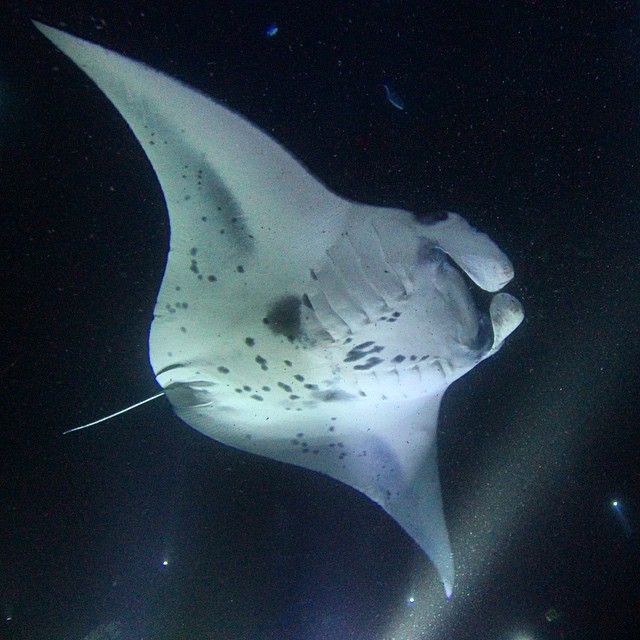 Friday nights are better in the ocean. Big Bertha flaunts her 17ft (5m) wingspan as she glides gracefully over the divesite. Coastal Manta Rays average 100lbs per foot of wingspan, so Big Bertha really earns her name in both size and weight. Aside from her massive presence, she is easily identified by the Trident and Hawaiian Island Chain shapes in her spot pattern. Truly a local lady. (at Keauhou Bay)