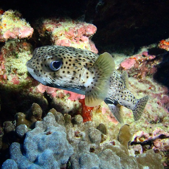 Porcupinefish hanging out under a  coral head. Bright lights for the  night dive proved very useful on the twilight dive beforehand too.  (at Keauhou Bay)