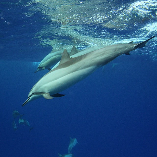 Sunday morning Spinner Dolphins. Liquid Hawaii always has awesome dolphin drops. Thanks Scott! (at Ho'ona Bay) See more Hawaiian wildlife at: https://flic.kr/s/aHsk9qgHpz