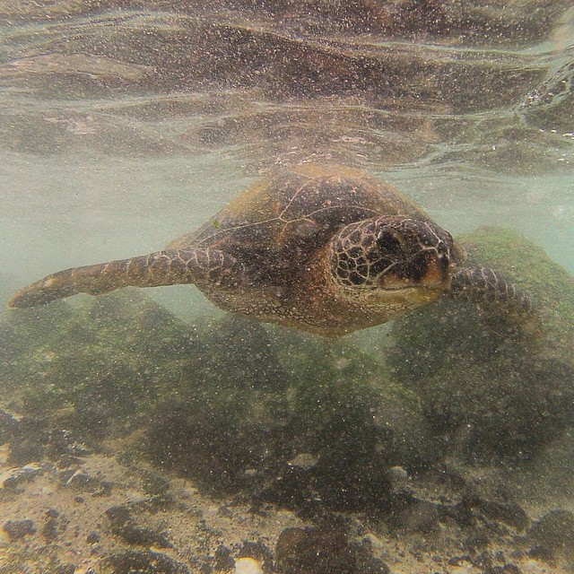 Took an afternoon dip and almost tripped over this cool dude. (at Pahoehoe Beach Park)